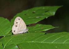 Little Wood Satyr. Butterfly (Megisto cymela) sitting on a leaf in the woods Stock Image
