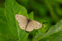 Little Wood Satyr Butterfly. Perched on a leaf Royalty Free Stock Images