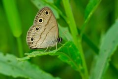 Little Wood Satyr Butterfly. Perched on a leaf Royalty Free Stock Photo