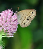 Little Wood Satyr Butterfly (Megisto cymela) Stock Image