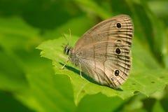 Little Wood Satyr Butterfly - Megisto cymela. Little Wood Satyr Butterfly resting on a leaf. Rouge National Urban Park, Toronto, Ontario, Canada Royalty Free Stock Photos