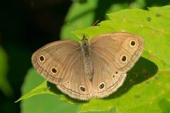 Little Wood Satyr Butterfly - Megisto cymela. Little Wood Satyr Butterfly resting on a leaf. Rouge National Urban Park, Toronto, Ontario, Canada Stock Photo