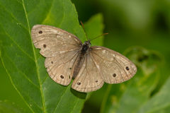 Little wood satyr butterfly Stock Image