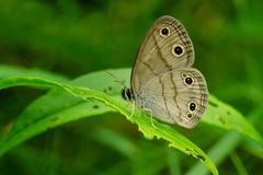 Little Wood Satyr Butterfly. Perched on a leaf Royalty Free Stock Image
