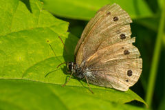 Little Wood Satyr Butterfly. Resting on a leaf Stock Images
