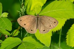 Little Wood Satyr Butterfly - Megisto cymela Royalty Free Stock Photography