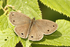 Little Wood Satyr. (Megisto cylema) with Wings Spread - Grand Bend, Ontario, Canada Stock Image