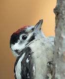 Little woodpecker. Portrait of a great spotted woodpecker (Dendrocopos major Stock Photos