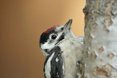 Little woodpecker. Portrait of a great spotted woodpecker (Dendrocopos major Royalty Free Stock Image