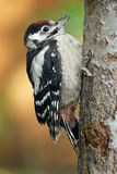 Little woodpecker. Portrait of a great spotted woodpecker (Dendrocopos major Royalty Free Stock Photos