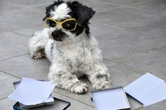 Little working dog assorting papers. Mixed-breed dog between shih tzu and maltese dog  sorts papers in different boxes Stock Photography