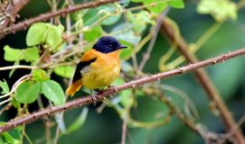 A little yellow bird in a green forest,. This small bird always look in munnar and other hill top area of green forest Royalty Free Stock Photo