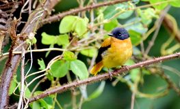 A little yellow bird in a green forest. This small bird always look in munnar and other hill top area of green forest Stock Photography