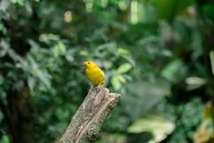Little Yellow bird stock photos