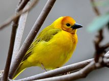 Little yellow bird Royalty Free Stock Photography