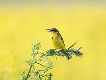 Little yellow bird Wagtail flew on a summer flowering meadow clo Stock Photos