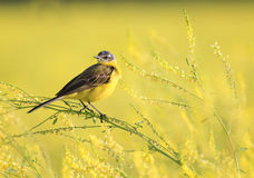 Little yellow bird Wagtail flew on the summer meadow clover Stock Photo