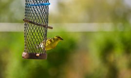 Little Yellow birds - American Goldfinch (Spinus tristis). Royalty Free Stock Photography