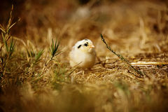 Little yellow and black baby chicken. Yellow and black chick alone in a field looking at the camera Royalty Free Stock Photo