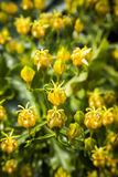 Little yellow blossom in spring Royalty Free Stock Photos