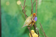 Little yellow and blue/brown finches sitting in a tree. Little yellow and blue/brown finch birds sitting in tree. Nature royalty free stock photography