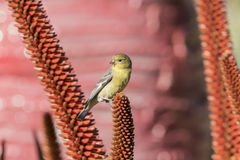 Little yellow brid - Spinus spinus sitting on a red flower Royalty Free Stock Photo