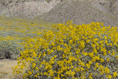Little yellow Brittlebush blossom Royalty Free Stock Images