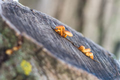 Little yellow brown mushrooms that grown in a crack of a tree Royalty Free Stock Photos