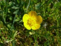 Little yellow buttercup stock photos