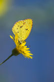 Little Yellow butterfly (eurema lisa) Stock Photo