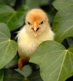 Little yellow chick. Baby yellow chick in a farm: cute beautiful bird Royalty Free Stock Photography