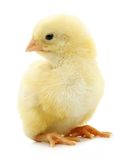 Little yellow chick Stock Photos