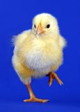 Little yellow chick Royalty Free Stock Photo