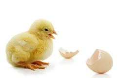 Little yellow chick with egg shell Royalty Free Stock Photos