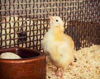 Little yellow chick is fed from a bowl Stock Photos