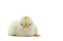 Little yellow chick isolated on white background Stock Images