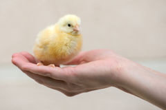 Little yellow chick outdoors Stock Images
