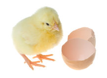 Little yellow chick and shell Stock Image