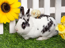 The little yellow chick is sitting astride a rabbit. Black and white rabbit playing with little chicks in the garden on the green grass near a white fence stock images