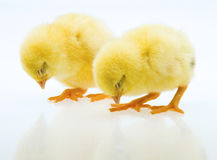 Little yellow chick Royalty Free Stock Photography