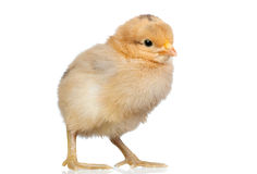Little yellow chicken Royalty Free Stock Photo