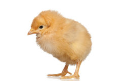 Little yellow chicken Royalty Free Stock Images