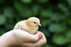 Little yellow chicken Stock Image