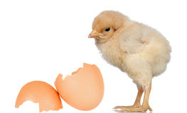 Little yellow chicken with a egg Stock Images