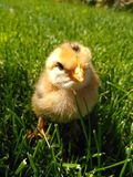 Little yellow chicken is in green grass royalty free stock photography