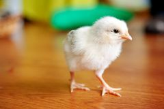 Little yellow chicken on wood floor, Both of chicks, Newborn of chicken royalty free stock photos