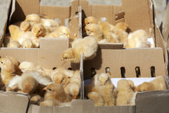 Little yellow chicks Stock Photography