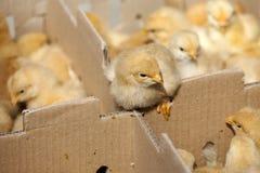 Little yellow chicks Stock Photo