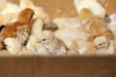 Little yellow chicks Stock Images