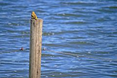LITTLE YELLOW COLOURED WEAVER ON A POST royalty free stock images